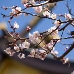 湯島天神桜